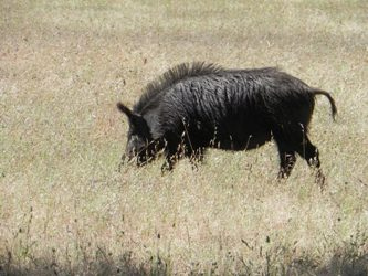 feral-swine-hunting-oregon.jpg